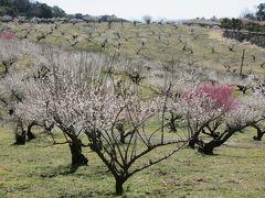 2018春、静岡西部の梅の名所巡り(5/10):3月2日(5):豊岡梅園(2):四万坪の梅園、梅酒用の生産梅林、南高、古城、改良内田