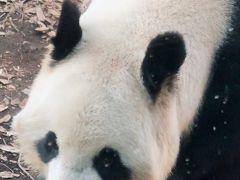 上野Zoo4/4 母パンダ・シンシン(真真) 食いしん坊で賢いとか ☆音に敏感で動き廻り