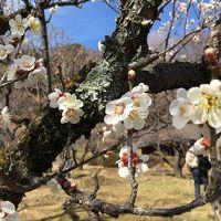 町田 薬師池公園の梅はまだ早かった ...