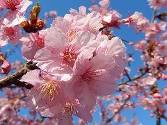 満開になった河津桜