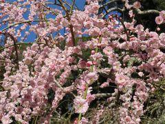 2018春、静岡西部の梅の名所巡り(7/10):3月2日(7):龍尾神社(1):豊岡梅園から龍尾神社へ、枝垂れ梅、立金花、椿