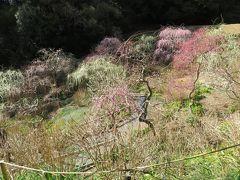2018春、静岡西部の梅の名所巡り(8/10):3月2日(8):龍尾神社(2):枝垂れ梅、立金花、ソシンロウバイ、クリスマスローズ