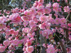 2018春、静岡西部の梅の名所巡り(10/10):3月2日(10):龍尾神社(4):枝垂れ梅、思いのまま、立金花、ソシンロウバイ