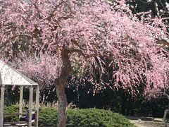 早春の花巡り 豊田市平芝公園の梅がやっと見頃に♪