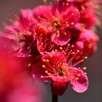 春を告げる妖精とも呼ばれる可憐な花・雪割草/福寿草