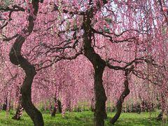 2018春、満開の枝垂れ梅(1/4):3月13日(1):名古屋市農業センター、街路樹の枝垂れ梅、呉服枝垂れ、緑萼枝垂れ
