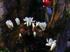 春色さんぽ2018☆沖田桜と白木蓮