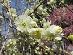 2018春、満開の枝垂れ梅(3/4):3月13日(3):名古屋市農業センター、呉服枝垂れ、緑萼枝垂れ、白木蓮、ソシンロウバイ