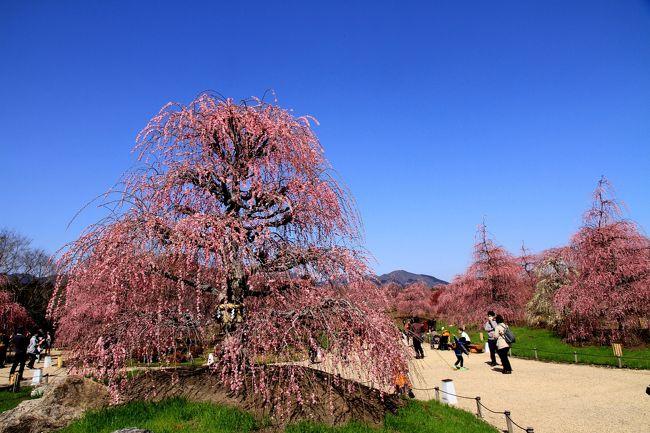 鈴鹿の森庭園 素晴らしいしだれ梅の庭園です。<br /><br />まさに見ごろ。好天に恵まれ、心地よい春の風のなか、ちょっと汗ばむ陽気でしたが、綺麗に咲いた梅の花を堪能できました。<br /><br />