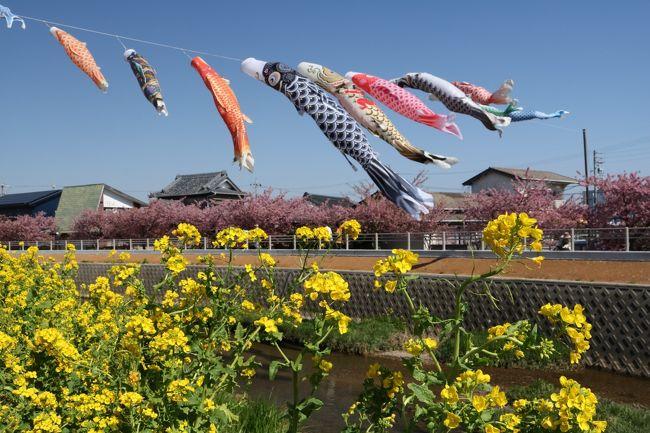 愛知県の中では比較的暖かいと言われる渥美半島の先端近く福江にある免々田川の河津桜と菜の花まつりに行ってきました。<br /><br />毎年行われてるようですが全く知らず、某旅行社のツアーパンフレットで知って、満開のころ合いを見て行く事に。<br /><br />ピンクの河津桜に、黄色の菜の花、鯉のぼりが泳いで、長閑な景色にうっとり。<br />また来たくなるような、素敵な風景でしたよ。