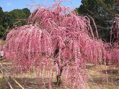菅原神社 見事な枝垂れ梅です。