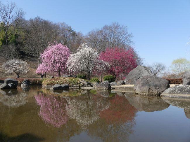 「みかも山公園」の「万葉庭園」では、ウメがほぼ満開になり、見頃です。<br />カンヒザクラ、カンザクラも咲き始めています。