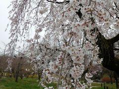 2017年京都 4月5日 その5 府立植物園の桜林や桜品種見本園で桜を楽しむ