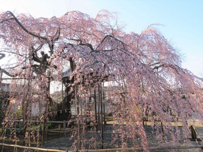 3月17日、午後3時半頃にふじみ野市亀久保にある地蔵院の枝垂桜の開花状況を調べるために行きました。 先日〔3/6〕訪問した時には蕾は見られるものの開花は二週間後と思っていましたが、3/13~3/15の三日間は四月下旬並みの高温になり、開花が進んでいるのではと思われましたので訪問したところ、三分咲きで見ごろを迎えていました。 来週の3/23頃に満開になるような感じでした。<br /><br /><br /><br />*写真は見ごろを迎えた地蔵院の枝垂桜・・・すだれ状に咲いているのは見事です。