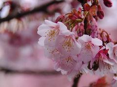 あたみ桜咲く湯の街へ