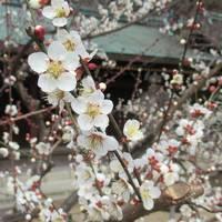 梅の花香る京都