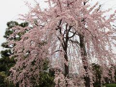 2017年京都 4月5日 その9 二条城の桜はまだ早かったけど、一部見頃の木もありました。
