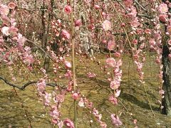 枝垂れ梅を見に春の京都へ。