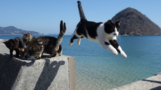 ご訪問ありがとうございます。<br />「飛び猫」で有名になった多度津町のねこ島、佐柳島へ行ってきました。<br />佐柳島は香川県で、フェリーも香川県側の多度津港から出ているため、本州からのアクセスはちょっと面倒なのですが、昨年ホステルがオープンして島内に宿泊できるようになり、スケジュールが組みやすくなったので、青春18きっぷが使える期間になるのを待って出かけてみました。<br /><br />帰りは同じルートではなく、土曜日の午後、週に1便だけある、佐柳島のすぐ近くにある岡山県側の真鍋島を経由して笠岡港へ行くフェリーの便を利用して、京都→多度津→佐柳島→笠岡というルートをとり、笠岡から山陽線で1年ぶりの尾道に出て、尾道でもねこ街訪問してきました(^ ^)