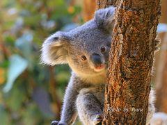 東山動物園 3月分です!! コアラの赤ちゃんが2頭に!!