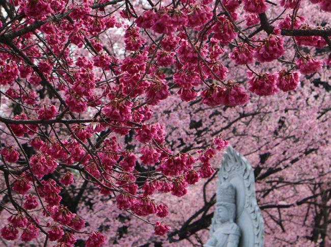 密蔵院の安行桜は真っ盛り、ランチはワラビスタンの街で異文化体験