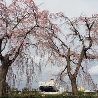 横浜散歩:桜は咲いたかな?