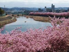 華やか 艶やか 岡崎乙川の葵桜♪