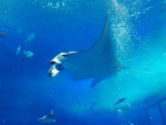 美ら海水族館でジンベイザメの生殖器観察❗by オキャマ三人旅♪