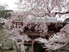 2017年京都 4月6日 その4 京都定期観光バスで醍醐寺の桜を見ました