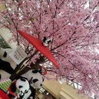 マダムのチープな東京散歩〜六義園・上野〜しだれ桜とシャンシャン