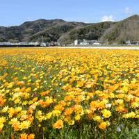 今年で最後?伊豆松崎の田んぼの花畑の輝き