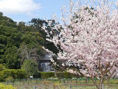 つつじが岡第二公園のサクラ_2018_サクラは少しですが、春の散歩には良いところです。(群馬県・館林市)