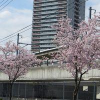 外堀界隈は 卒業式と桜で賑やか ♪♪
