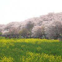 幸手権現堂桜堤で満開のさくらと菜の花のコラボレーション(^^)v