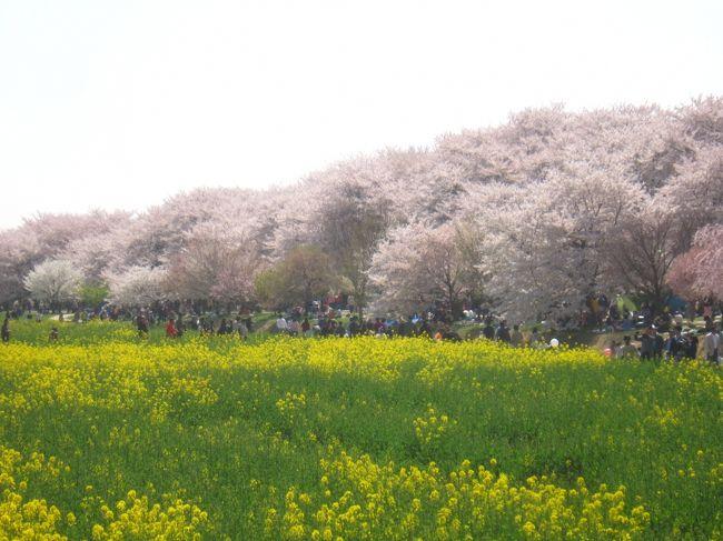今年は桜の開花が早く、予定が狂ってしまいましたが、今シーズンも何とか無事に桜を観に行くことができました。<br />今回はちょっと遠出して埼玉県の幸手にある権現堂桜堤で満開の桜と菜の花のコラボです。<br /><br />【表紙の写真】権現堂桜堤の桜と菜の花