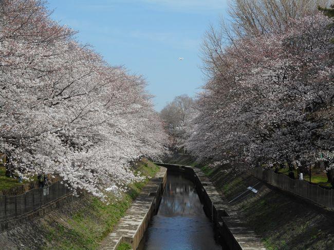善福寺川公園緑地に桜を観に行きました。