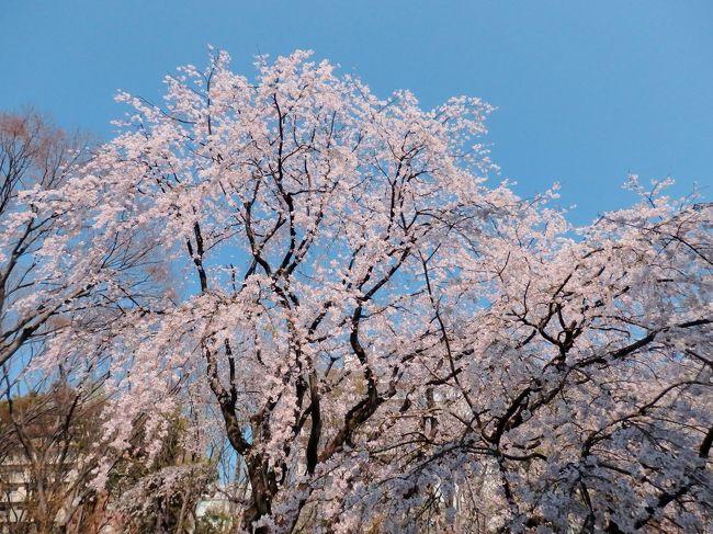 駒込さくら散歩☆六義園のしだれ桜と 桜が綺麗な古社 妙義神社
