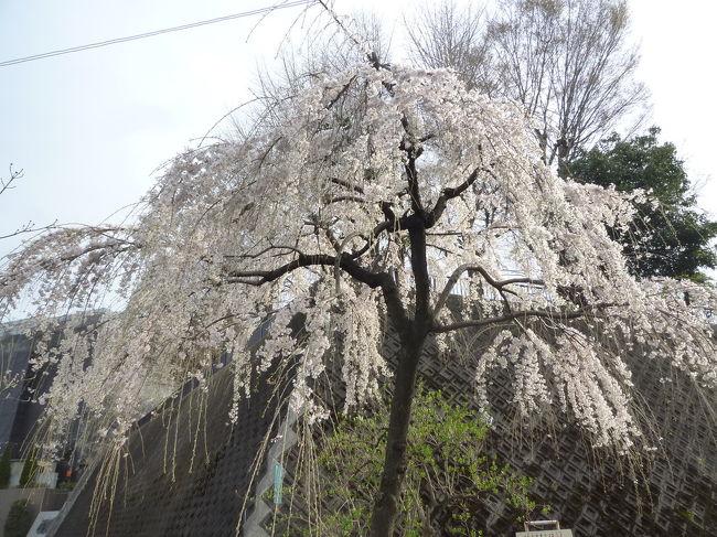 烏山川緑道の桜&松陰神社・若林公園に立ち寄り 2018/03/24<br /><br />烏山川緑道の桜を求めて <br /><br />茶沢通りから烏山川緑道に入り国士舘大学方面に向かって、桜を求めて散策しました。入り口付近は、結構な見物客がいましたが、 歩くに従って少なくなり、桜を愛でてる人はちらほら。桜も、ところどころにしか咲いておらず、期待していた程ではありませんでした。でも、一本だけですが、綺麗な枝垂れ桜が咲いていました。殆どに桜はピンクではなく、白色でした。桜以外でも、水仙など他の花も楽しむことができました。<br />帰りは、北沢川緑道を歩き、明大前駅まで歩きました。