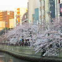 みなとみらいから大岡川を通って蒔田公園まで 花見散歩
