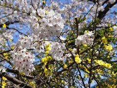 武蔵小杉界隈の桜と花桃散歩 2018(川崎)