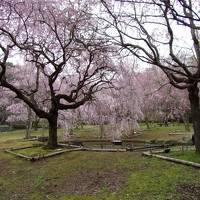 春満喫♪湯河原温泉と真鶴のしだれ桜