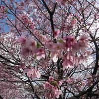 桜を求めて、伊豆へドライブ旅行・・・のはずが、帰りに大惨事!電車で帰った伊豆旅行(泣)