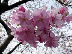 03.桜と水仙を見る節分のHJ下田1泊 河津桜 涅槃堂