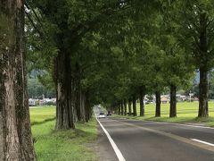 深緑のメタセコイア並木ドライブ旅