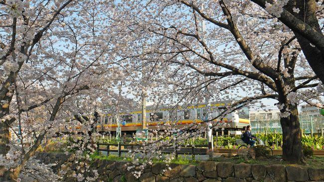 毎年恒例の出勤前桜散歩。<br />今年はどこへ行くか迷いましたが、二ヶ領用水へ。<br /><br />二ヶ領用水の桜は、去年初めて見てとてもステキだったので、今年もまた見たいなぁと。<br />去年はお休みの日に行ったら、すごい人だったのであまり写真も撮れず…。旅行記も書きませんでした。<br />今年もそんなに写真は撮っていませんが、記録も含めて旅行記にしました♪