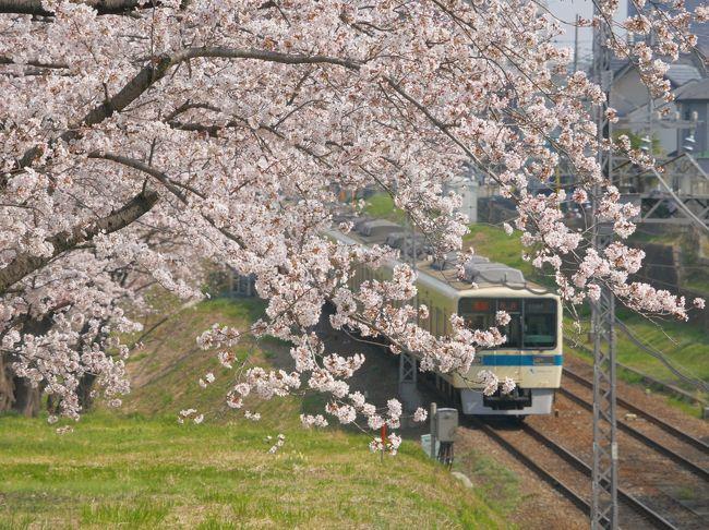 小田急線と桜、小田急線と葉の花。小田急線三昧の一日。