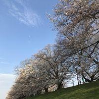 2018年3月 京都に桜シーズンがやって来た!平野神社〜淀川河川公園背割堤地区の桜 後編 可愛いあの子にも会えました。