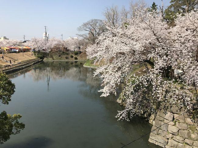 ほぼ満開の桜、岡崎城跡。<br />平日にも関わらず付近の駐車場は満車。駐車場の空き待ちで国道1号線も渋滞。<br /><br />乙川沿いの桜は綺麗。