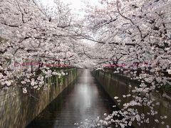 桜満開の目黒川でお花見
