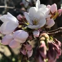 2018年 春の花便り♪ ちらほら咲き始めた我が家の桜に見送られて〜久しぶりの白馬東急ホテルへ(*'▽')/